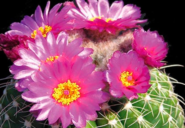 Нотокактус, основные сведения о растении