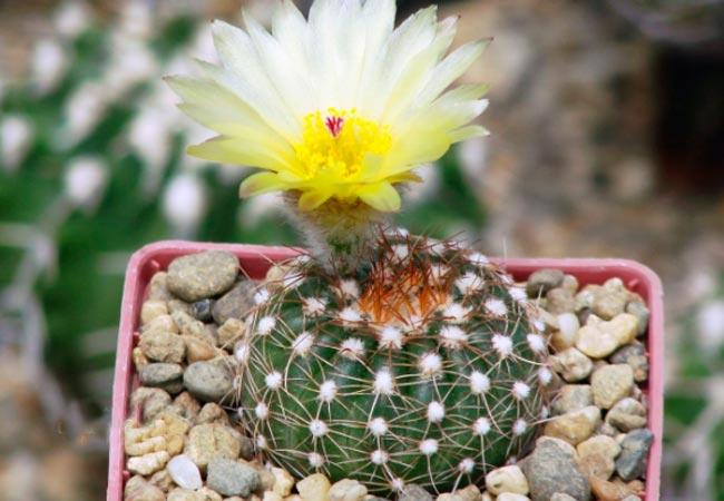 Notocactus ottonis, фото