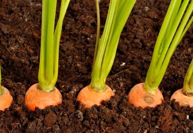 Когда и как высаживать морковь на семена