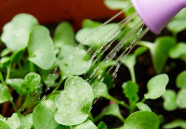 Как часто поливать редиску