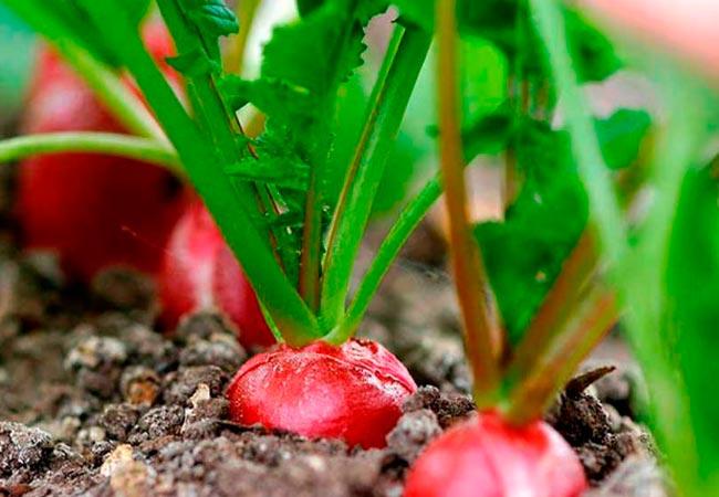 Подготовка грунта и семян редиски для выращивания на подоконнике