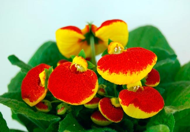 Кальцеолярия: выращивание, уход в домашних условиях