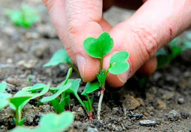 Можно ли пересаживать редиску рассадой