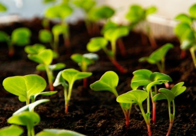 Как вырастить редиску рассадой