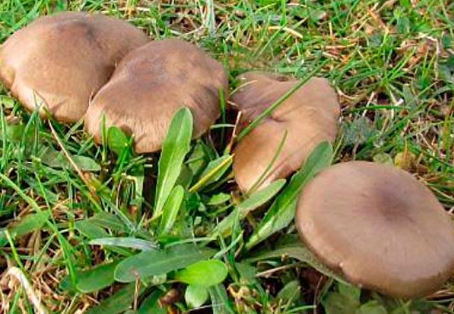Энтолома шелковистая – лат. Entoloma sericeum