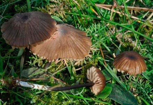 Энтолома шероховатенькая – лат. Entoloma asprellum