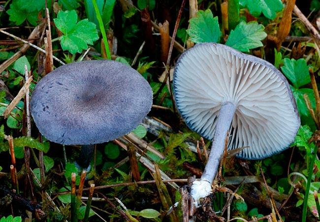 Энтолома синеватая – лат. Entoloma cyanulum