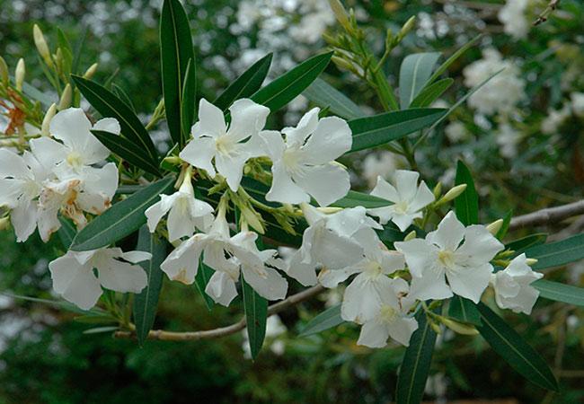 Олеандр, фото растения