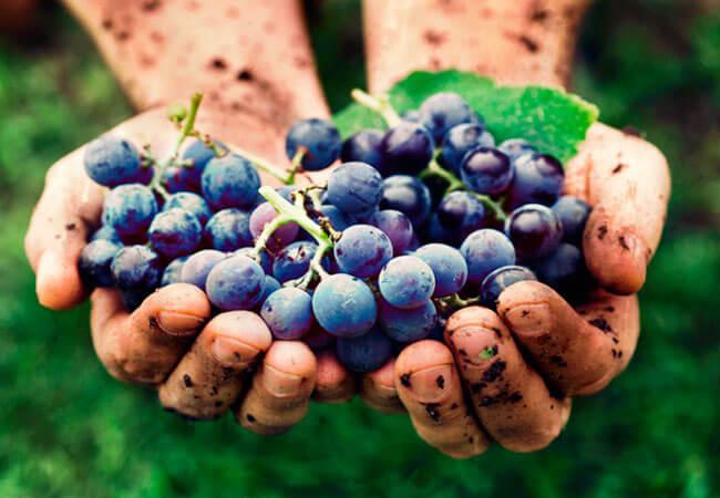 Как приготовить сухое виноградное вино