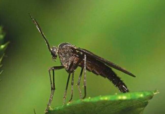 Грибные комарики ликорииды