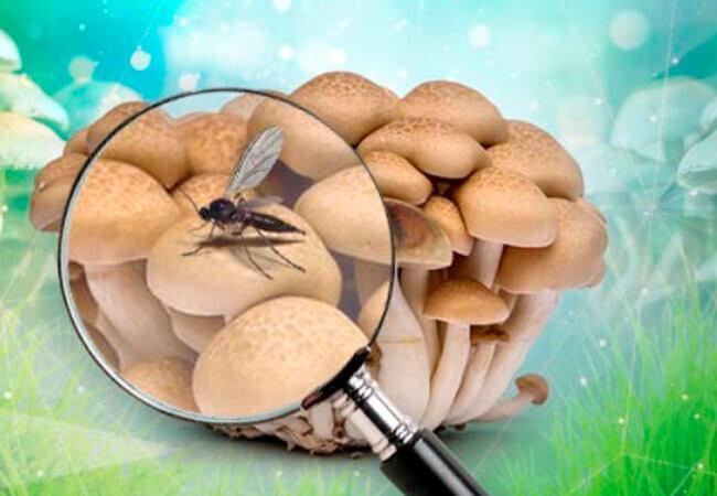 Как сделать обработку грибного цеха серной шашкой