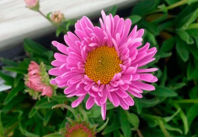 Астра Альпийская розовая, уход в домашних условиях