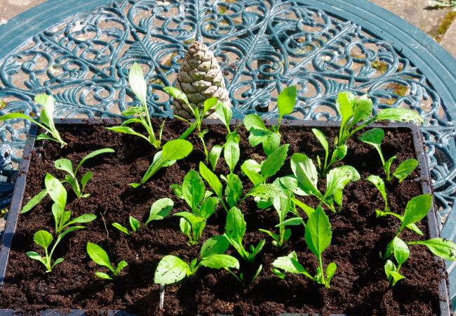 Почему не всходят семена астр
