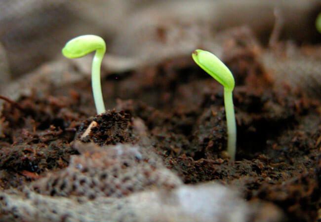 Почему не всходят семена астр: причины