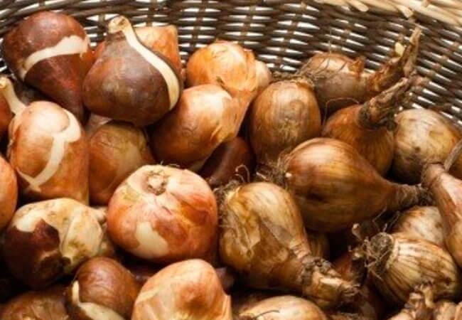 Где хранить луковицы тюльпанов в домашних условиях