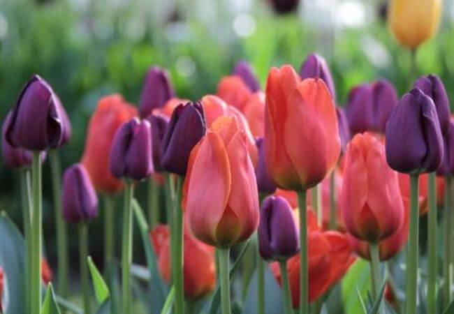 Правила ухода за тюльпанами в домашних условиях