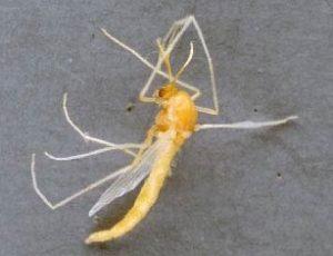 Рисовый комарик - Endochironomus tendens