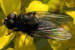 Пшеничная муха – Phorbia securis фото