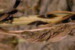 Фомоз подсолнечника – Phoma oleraceae (helianthituberosus)