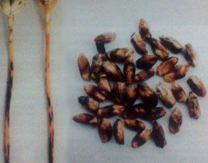 Чорный бактериоз пшеницы