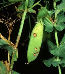 Бледный (бледнопятнистый) аскохитоз гороха - Ascochyta pisi фото