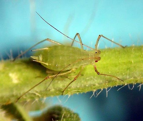 Гороховая тля – Acyrthosiphon pisum фото