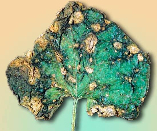 Аскохитоз огурца - Ascochyta cucumis фото