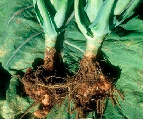 Кила капусты - Plasmodiophora brassicae