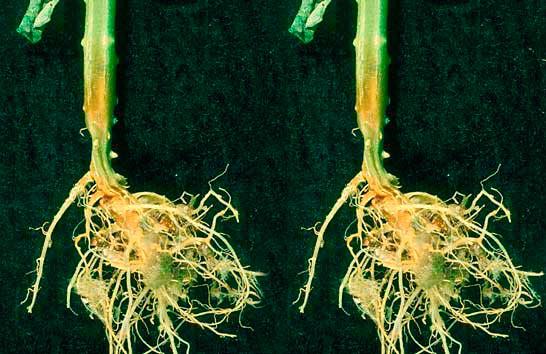 Корневая гниль огурцов – Pythium debaryanum