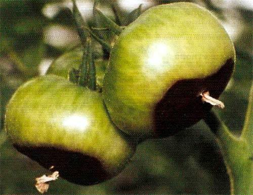 Вершинная гниль томата фото