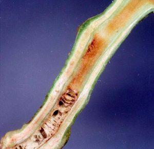 Бактериальное увядание томата (разрез стебля) фото. Источник - en.wikipedia.org