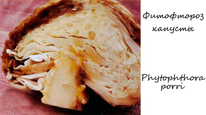 Фитофтороз капусты - Phytophthora porri