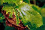 Кладоспориоз огурца или оливковая пятнистость - Cladosporium cucumerinum
