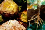 Ризоктониоз капусты - Rhizoctonia solani