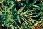 Вирус скручивания листьев картофеля - Potato leaf roll virus (PLRV) фото