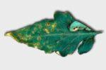 Чёрная бактериальная пятнистость на листе томата