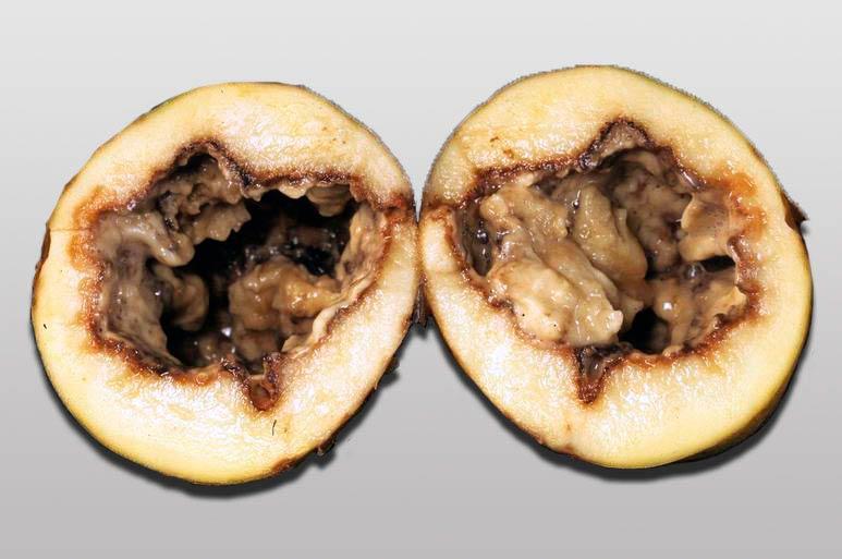 Черная ножка картофеля - Pectobacterium carotovorum фото