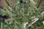 Кустистость верхушки томата - Tomato bunchy top viroid