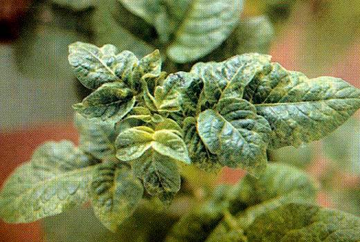 Морщинистая мозаика картофеля фото