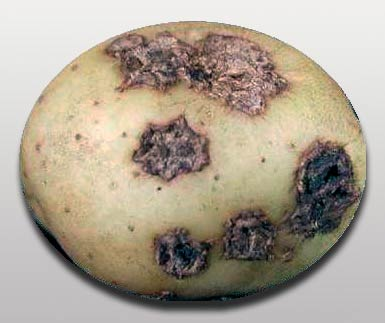 Обыкновенная парша картофеля - Streptomyces scabies фото