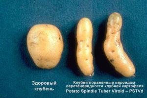 Готика клубней картофеля фото