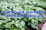 Вирусные болезни картофеля борьба