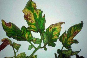Вертициллезное увядание томата