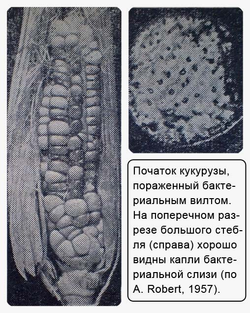 Бактериальное увядание кукурузы