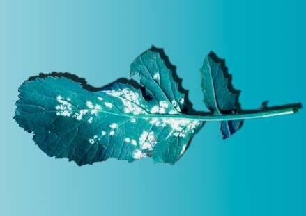 Белая ржавчина рапса - Albugo candida