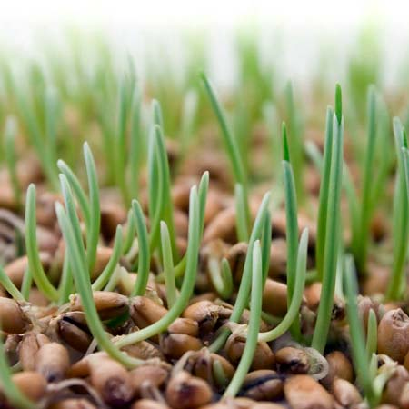 Мониторинг болезней зерна