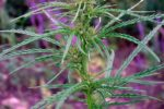 Конопля сорная (дикая, сорная полевая) — Cannabis ruderalis