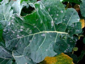 Мучнистая роса рапса - Erysiphe communis f. Brassicae, Syn. Erysiphe cruciferarum