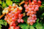 Сорт винограда Восток