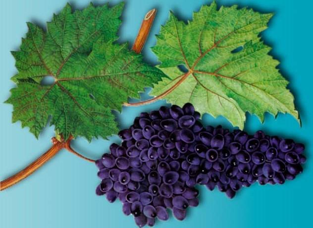 Сорт винограда Асма